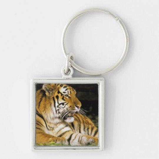 USA, Michigan, Detroit. Detroit Zoo, tiger at Keychain
