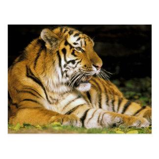 USA, Michigan, Detroit. Detroit Zoo, tiger at Postcard
