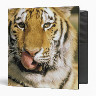 USA, Michigan, Detroit. Detroit Zoo, tiger 3 Ring Binders