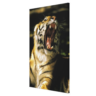 USA, Michigan, Detroit. Detroit Zoo, tiger Canvas Print