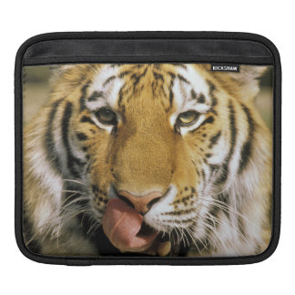 USA, Michigan, Detroit. Detroit Zoo, tiger Sleeve For iPads