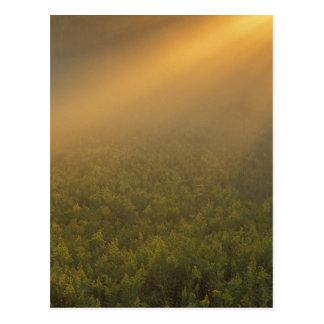 USA, Michigan, Meadow of goldenrod plants Postcard