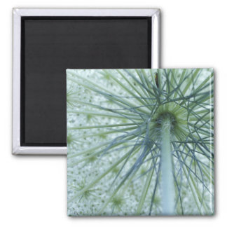 USA, Michigan. Queen-Anne's Lace viewed from 2 Inch Square Magnet