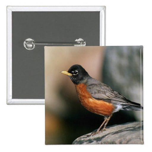 USA, Minnesota, Mendota Heights, male Robin Button
