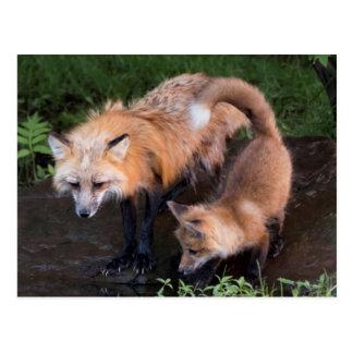USA, Minnesota, Sandstone, Minnesota Wildlife 11 Postcard