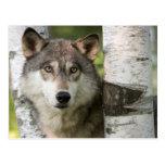 USA, Minnesota, Sandstone, Minnesota Wildlife 5 Postcard