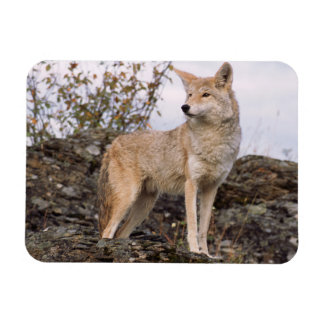 USA, Montana, Kalispell. Coyote at Triple D Magnet