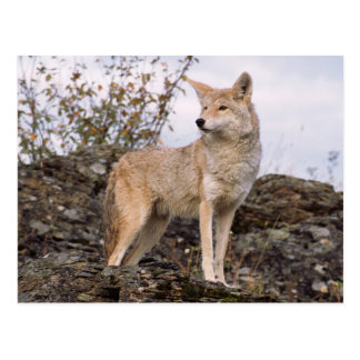 USA, Montana, Kalispell. Coyote at Triple D Postcard