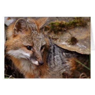 USA, Montana, Kalispell. Gray fox at Triple D Card