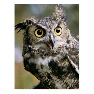 USA, Montana, Kalispell. Great horned owl Postcard