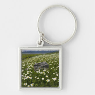 USA, Montana, Wild Daisy blooming in meadow by Keychain