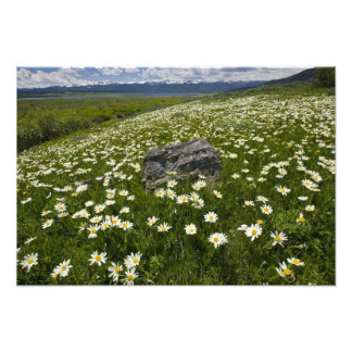 USA, Montana, Wild Daisy blooming in meadow by Photo Print