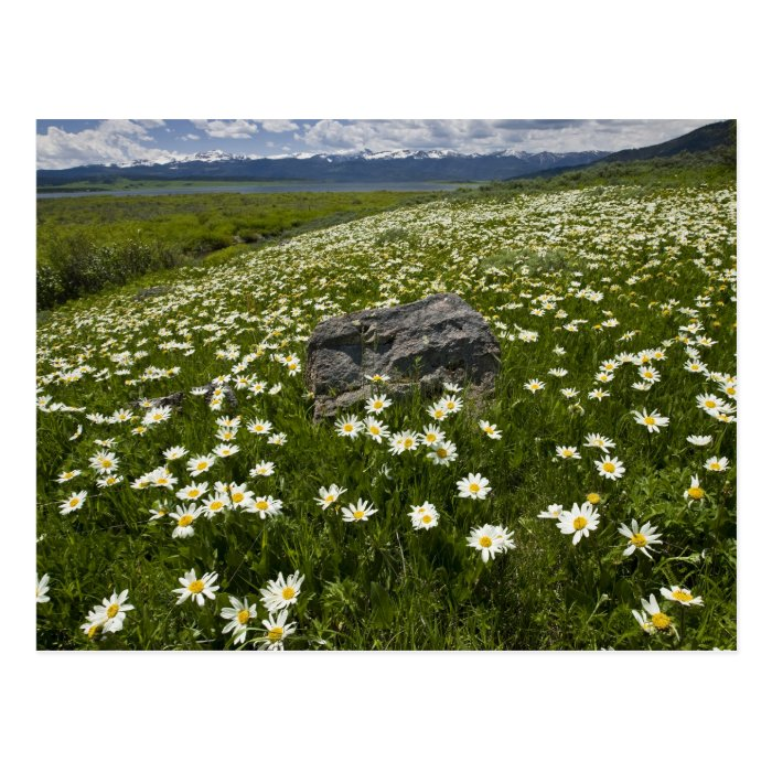 USA, Montana, Wild Daisy blooming in meadow by Postcard