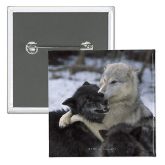 USA, Montana, Wolves playing in snow Button