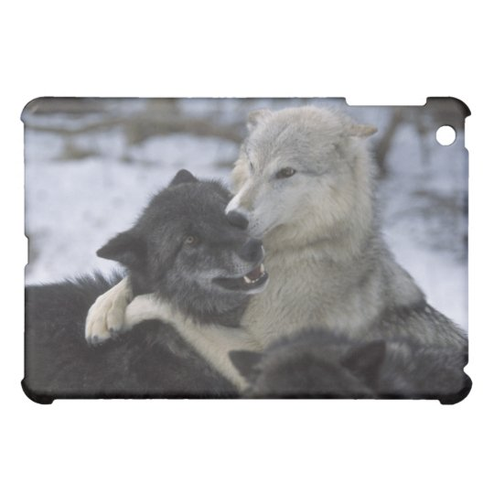 USA, Montana, Wolves playing in snow iPad Mini Cover