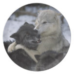 USA, Montana, Wolves playing in snow Melamine Plate