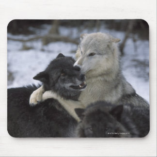 USA, Montana, Wolves playing in snow Mouse Pad