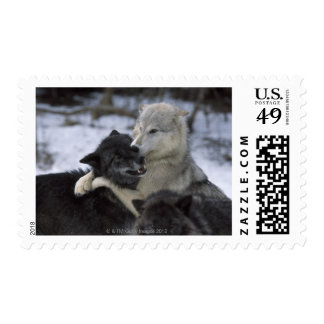 USA, Montana, Wolves playing in snow Postage Stamps
