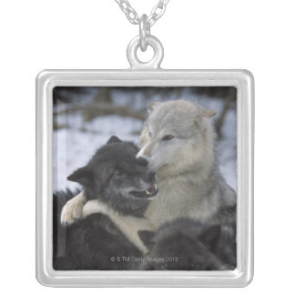 USA, Montana, Wolves playing in snow Silver Plated Necklace