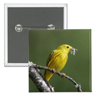 USA, Montana, yellow warbler Dendroica Button