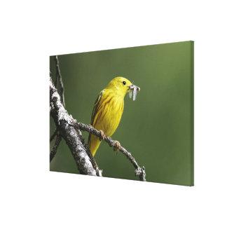 USA, Montana, yellow warbler Dendroica Canvas Print