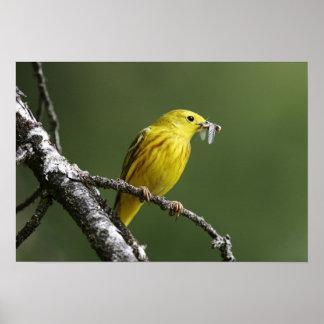 USA, Montana, yellow warbler Dendroica Poster