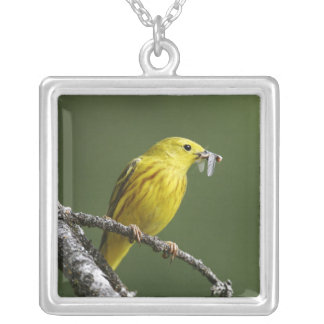 USA, Montana, yellow warbler Dendroica Silver Plated Necklace