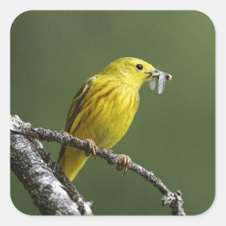 USA, Montana, yellow warbler Dendroica Square Sticker