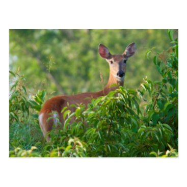 USA Themed USA, Nebraska, White Tail Doe On Hill Postcard