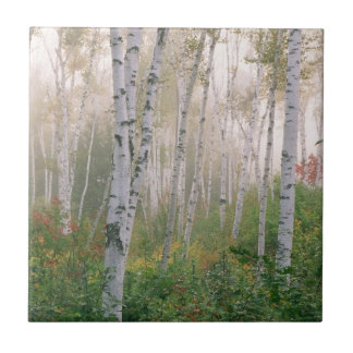 USA, New Hampshire. Birch trees in clearing fog Ceramic Tile