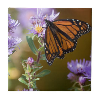 USA, New Hampshire. Monarch butterfly on aster Ceramic Tile
