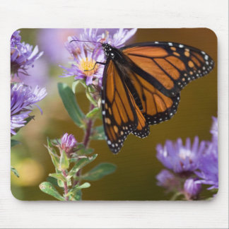 USA, New Hampshire. Monarch butterfly on aster Mouse Pad