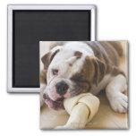 USA, New Jersey, Jersey City, Cute bulldog pup 2 2 Inch Square Magnet