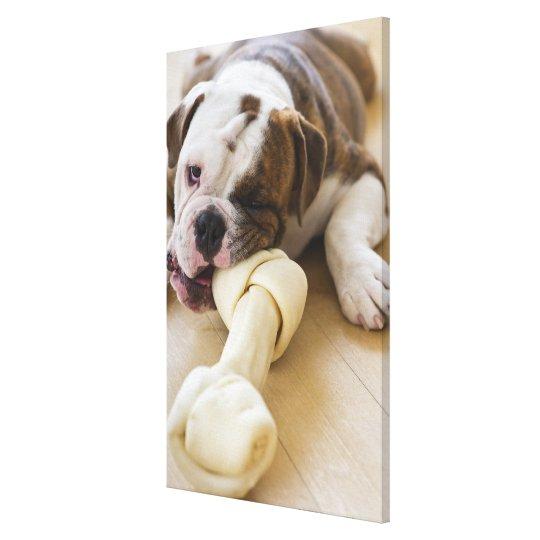 USA, New Jersey, Jersey City, Cute bulldog pup 2 Canvas Print