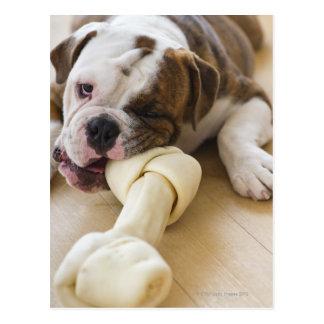 USA, New Jersey, Jersey City, Cute bulldog pup 2 Postcard