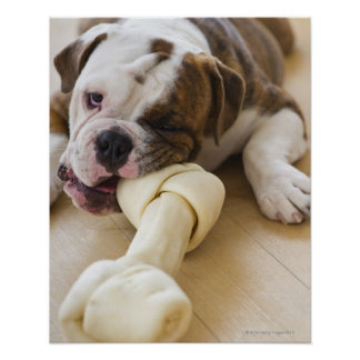 USA, New Jersey, Jersey City, Cute bulldog pup 2 Poster