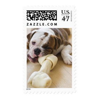 USA, New Jersey, Jersey City, Cute bulldog pup 2 Stamp