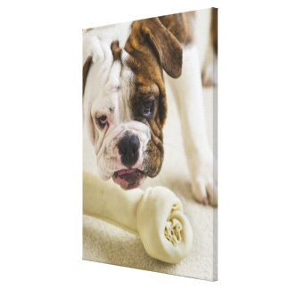USA, New Jersey, Jersey City, Cute bulldog pup Canvas Print