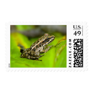 USA, New Jersey, Morristown. Young Pickerel Frog Postage Stamp