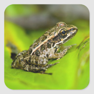 USA, New Jersey, Morristown. Young Pickerel Frog Square Sticker