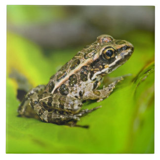 USA, New Jersey, Morristown. Young Pickerel Frog Tile