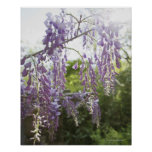 USA, New Jersey, Wisteria in bloom 2 Poster