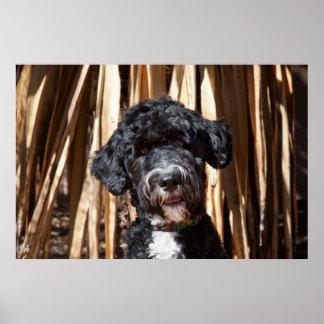 USA, New Mexico. Portuguese Water Dog Portrait Poster