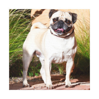 USA, New Mexico. Pug Standing In High Grasses Canvas Print