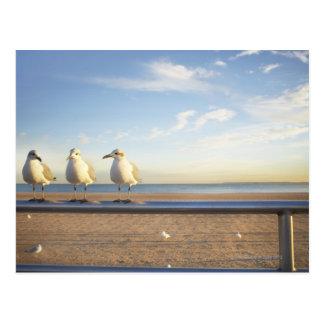 USA, New York City, Coney Island, three seagulls Postcard
