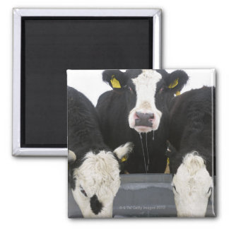 USA, New York State, Cows drinking from frozen 2 Inch Square Magnet