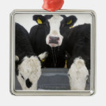USA, New York State, Cows drinking from frozen Christmas Ornament