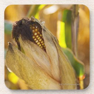 USA, New York State, Hudson, Corn cob growing in Drink Coaster
