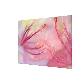USA, North Carolina. Catawba rhododendron with Canvas Print