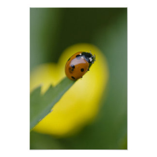 USA, North Carolina, Ladybug on tip of leaf. Poster